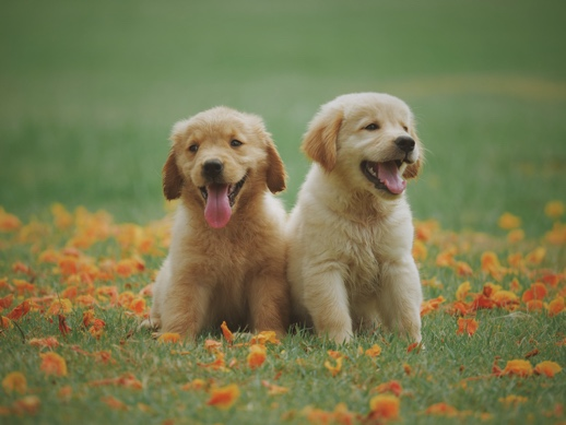 twin puppies